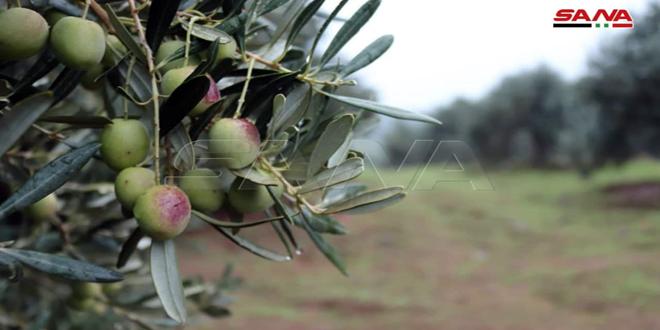 Olives harvesting in Talil village, Homs northwestern countryside