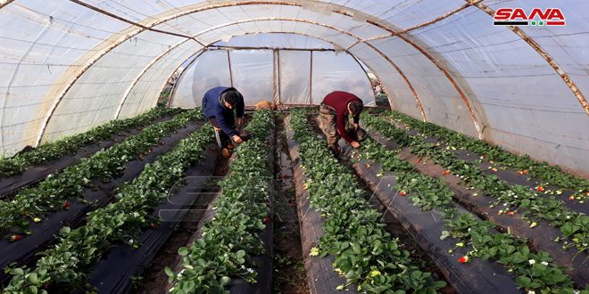Strawberry harvesting season in Homs countryside begins