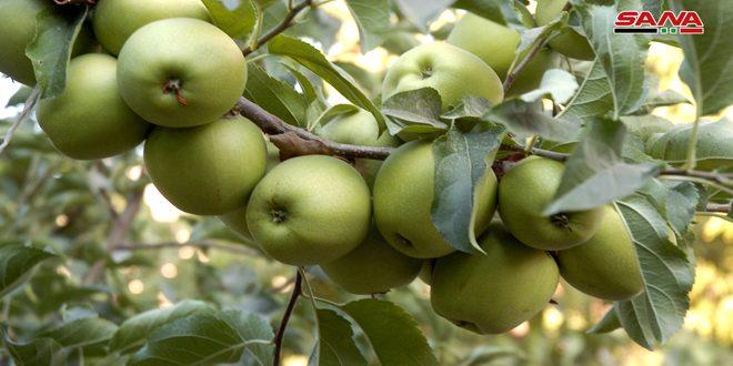 ייצוא 5500 טונה מתפוחי  א-סו'ידאא לשווקים בחוץ