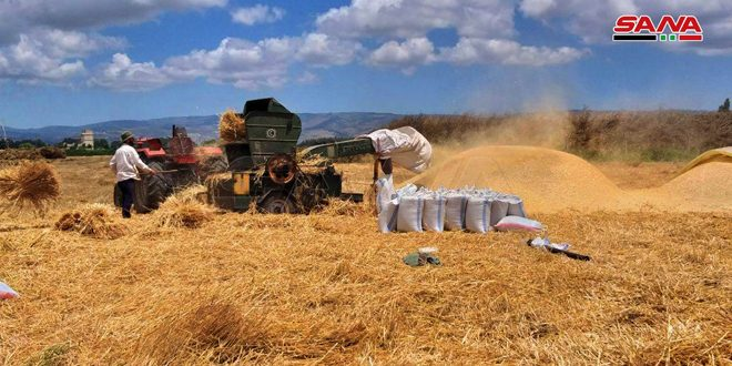 بدء عمليات الحصاد في ريف حمص وتقديرات بإنتاج نحو 74 ألف طن من القمح